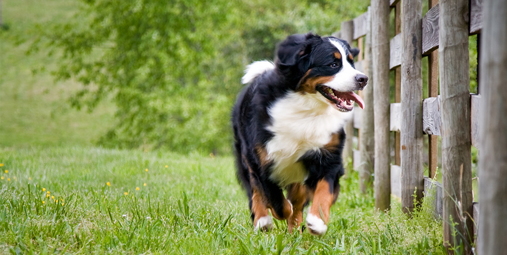 Big Dog Running Alongside Wood Fence